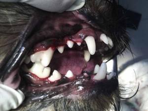 Odontología veterinaria en la Clinica Velazquez