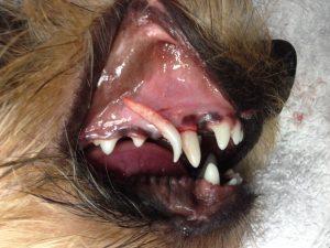 perro-diente-de-leche-extraido