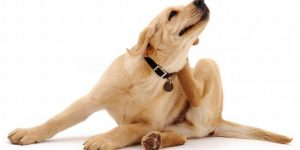 perro-rascandose